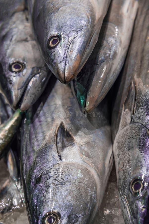Κλείστε επάνω την κάθετη άποψη της ακατέργαστης φρέσκιας ολόκληρης παλαμίδας ψαριών τόνου στο συντριμμένο πάγο Ανατολικός λίγα, T στοκ εικόνες με δικαίωμα ελεύθερης χρήσης
