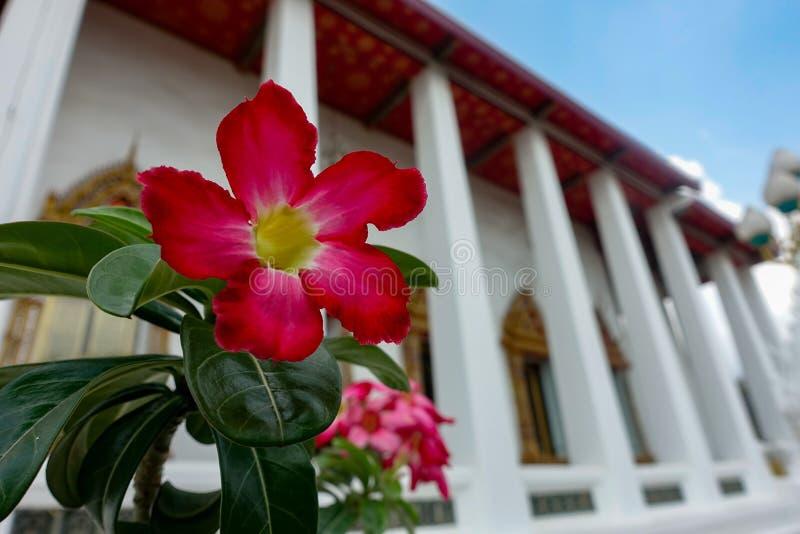 Κλείστε επάνω την κόκκινη πετούνια στο ναό στοκ εικόνα με δικαίωμα ελεύθερης χρήσης