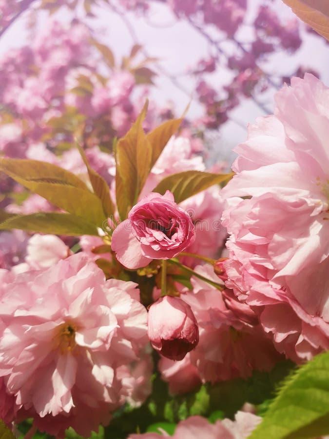 Κλείστε επάνω την πλήρη άνθιση του ιαπωνικού άνθους κερασιών sakura Άγριοι ρόδινοι ανθίζοντας οφθαλμοί δέντρων που ανθίζουν και π στοκ εικόνες με δικαίωμα ελεύθερης χρήσης