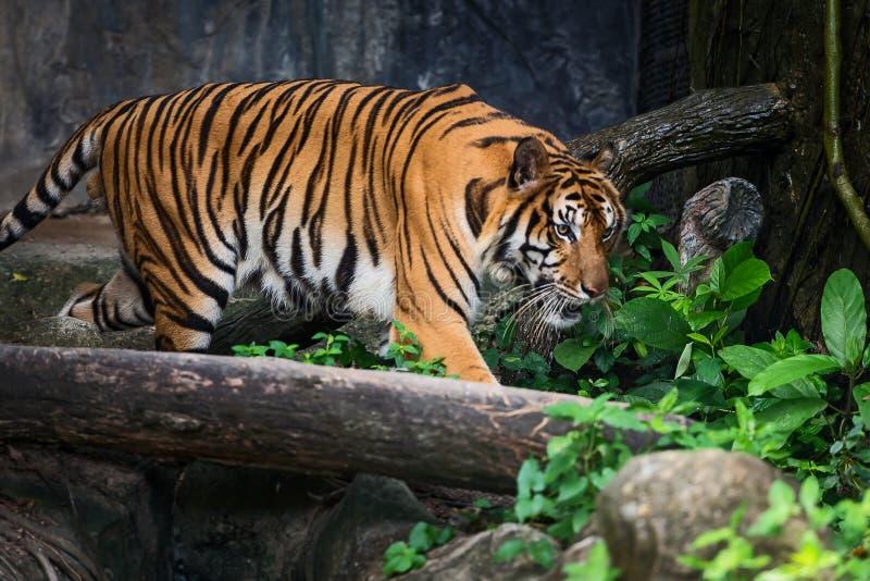Κλείστε επάνω την τίγρη στοκ εικόνες με δικαίωμα ελεύθερης χρήσης