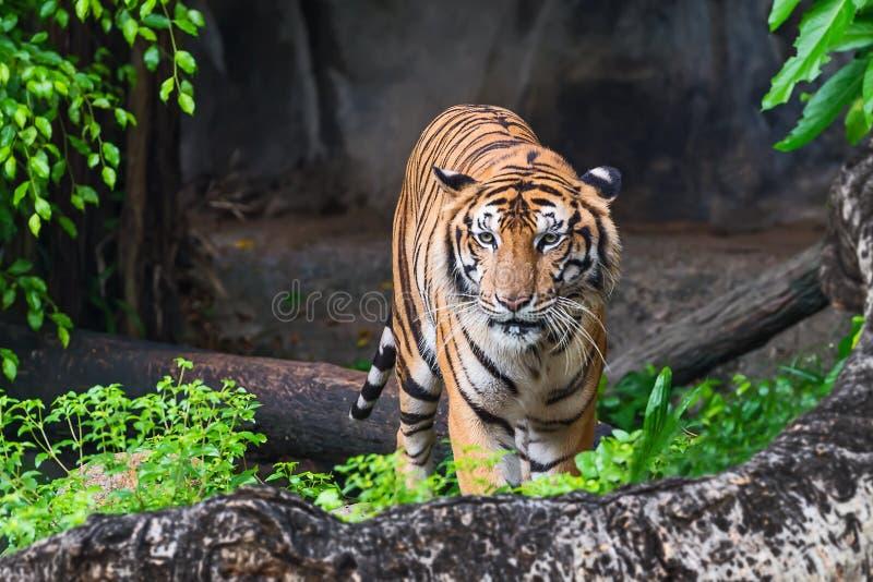 Κλείστε επάνω την τίγρη στοκ εικόνες