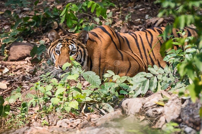 Κλείστε επάνω την τίγρη στοκ φωτογραφίες με δικαίωμα ελεύθερης χρήσης