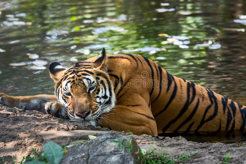 Κλείστε επάνω την τίγρη στοκ φωτογραφία με δικαίωμα ελεύθερης χρήσης