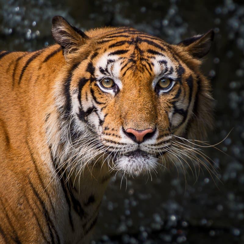 Κλείστε επάνω την τίγρη στοκ εικόνα
