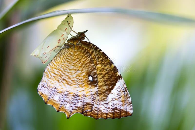 Κλείστε επάνω την υγιή και όμορφη καφετιά πεταλούδα προκύπτει από ένα κουκούλι στο υπόβαθρο θαμπάδων στοκ εικόνες