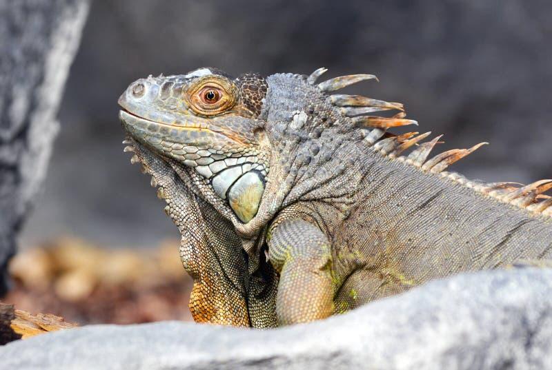 Κλείστε επάνω της γκρίζας και καφετιάς χρωματισμένης όμορφης σαύρας Iguana Leguan στοκ φωτογραφίες