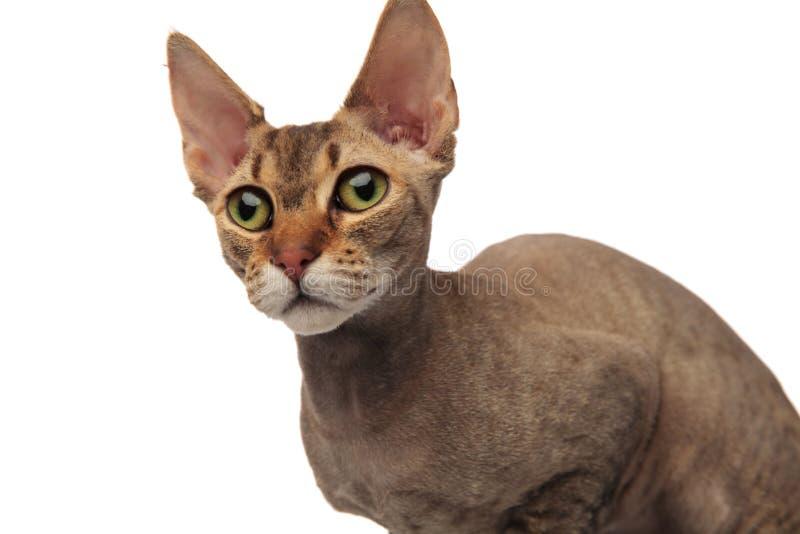 Κλείστε επάνω της λατρευτής γάτας metis κοιτάζοντας στην πλευρά στοκ εικόνα