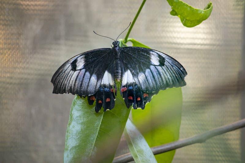 Κλείστε επάνω της πεταλούδας σε ένα φύλλο στοκ εικόνα