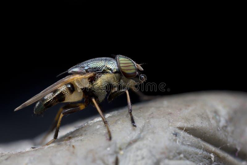 Κλείστε επάνω τη μύγα στοκ εικόνες