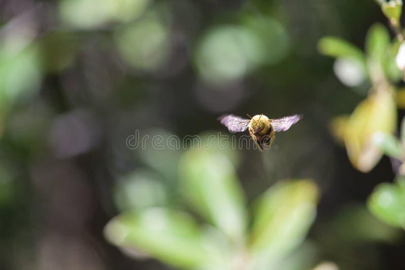Κλείστε επάνω τη νοτιοαφρικανική μέση πτήση μελισσών στοκ φωτογραφίες με δικαίωμα ελεύθερης χρήσης