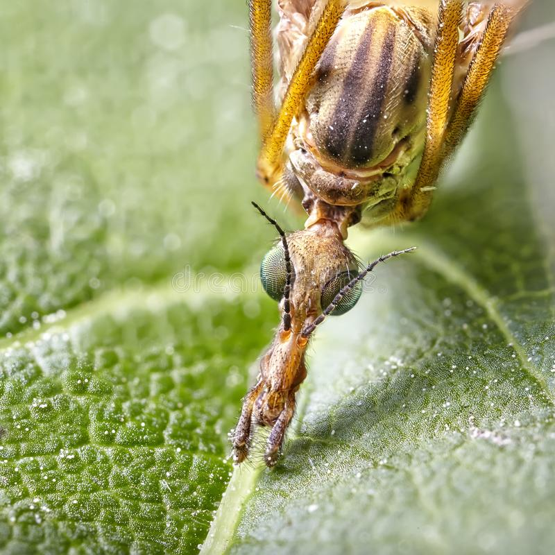 Κλείστε επάνω τη συσσώρευση εστίασης - μεγάλη γερανός-μύγα, μύγα γερανών, γιγαντιαίο Cranefly, μέγιστα Tipula στοκ εικόνα