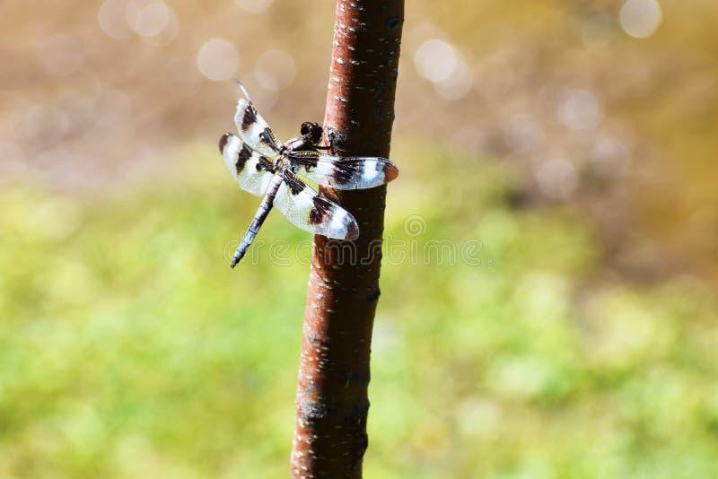 Κλείστε επάνω τη φωτογραφία λιβελλουλών έντομο στοκ εικόνα