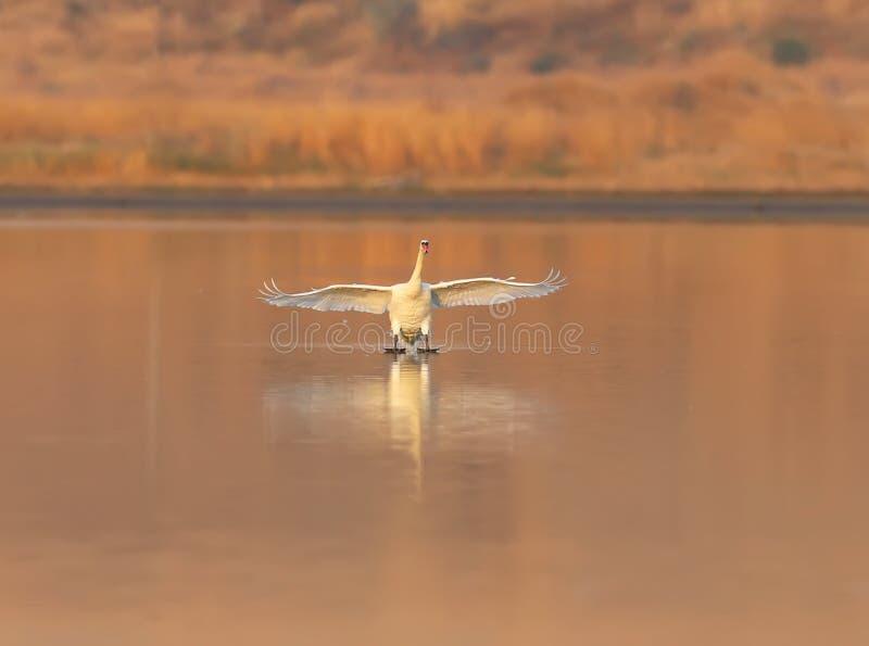 Κλείστε επάνω τη φωτογραφία μιας προσγείωσης ενός κύκνου στο νερό στοκ φωτογραφία με δικαίωμα ελεύθερης χρήσης