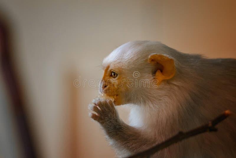 Κλείστε επάνω τη φωτογραφία της αργυροειδούς συνεδρίασης argentatus Marmoset Mico σε έναν ξύλινο κλάδο και τρώει τα φρούτα Είναι  στοκ εικόνες με δικαίωμα ελεύθερης χρήσης