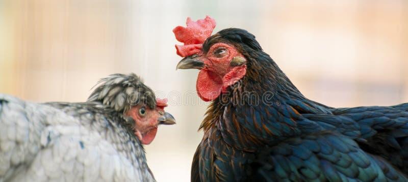 Κλείστε επάνω τη φωτογραφία του εσωτερικού κόκκορα ή του κοτόπουλου στο ζωολογικό κήπο, πουλιά ζωικού κεφαλαίου στοκ φωτογραφία