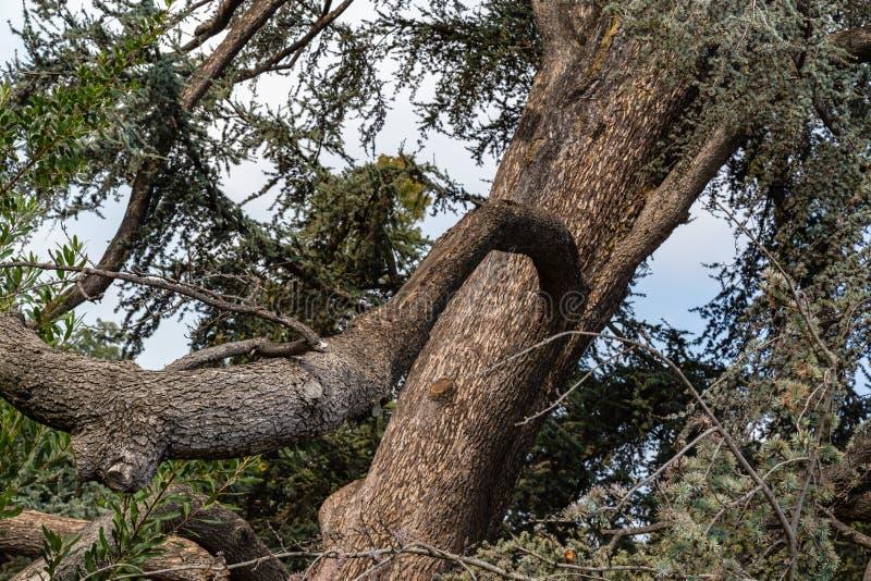 Κλείστε επάνω τη φωτογραφία του παραμορφωμένου κλάδου δέντρων σε έναν βοτανικό κήπο στοκ φωτογραφίες