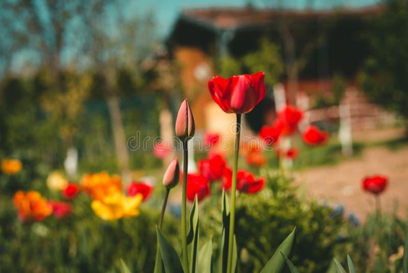 Κλείστε επάνω τη φωτογραφία των κόκκινων και κίτρινων τουλιπών στον κήπο την ηλιόλουστη ημέρα με το ξύλινο εξοχικό σπίτι στο υπόβ στοκ εικόνες