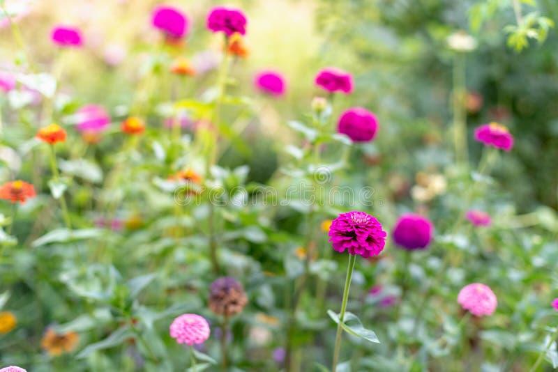 Κλείστε επάνω τη φωτογραφία των όμορφων, τρομερών, χρωματισμένων λουλουδιών στο καλοκαίρι στοκ εικόνα