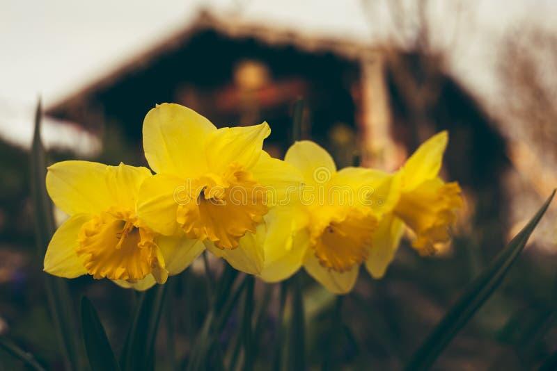 Κλείστε επάνω τη φωτογραφία όμορφων και κίτρινων τεσσάρων daffodils με την καμπίνα στο υπόβαθρο στο ηλιοβασίλεμα Φωτισμένο λουλού στοκ εικόνες με δικαίωμα ελεύθερης χρήσης