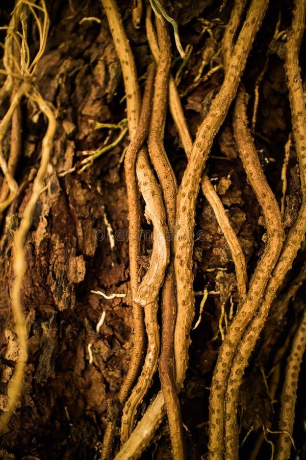 Κλείστε επάνω τις ρίζες και τις αμπέλους αυξανόμενος στο δέντρο στοκ εικόνα