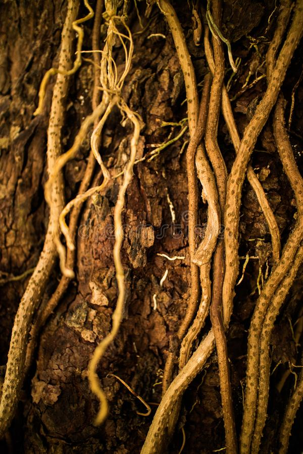 Κλείστε επάνω τις ρίζες και τις αμπέλους αυξανόμενος στο δέντρο στοκ εικόνες