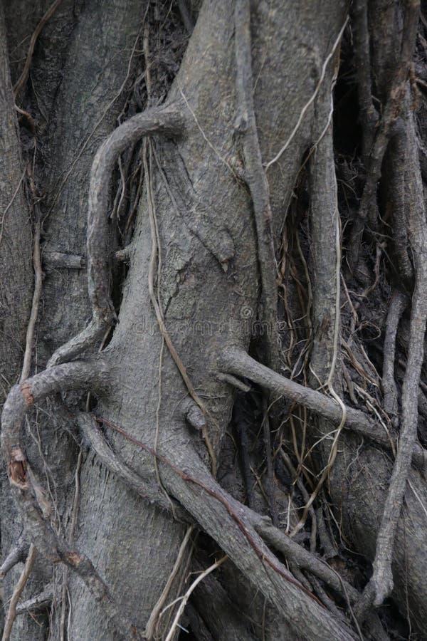 Κλείστε επάνω τις ρίζες του δέντρου στοκ εικόνα με δικαίωμα ελεύθερης χρήσης