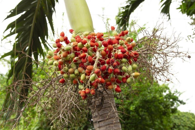 Κλείστε επάνω τον ακατέργαστο σπόρο φοινικών της Μανίλα στο δέντρο, το merrillii Veitchia & x28 Becc στοκ φωτογραφία