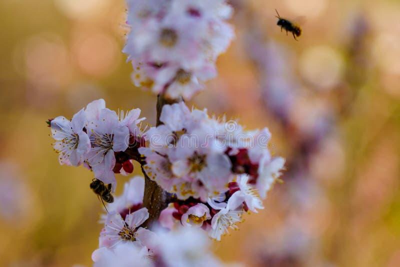 Κλείστε επάνω τον κλάδο βερίκοκων ανθών με τα άσπρα και ρόδινα λουλούδια με τις μικρές μέλισσες στο λουλούδι και τα πετάγματα γύρ στοκ εικόνα