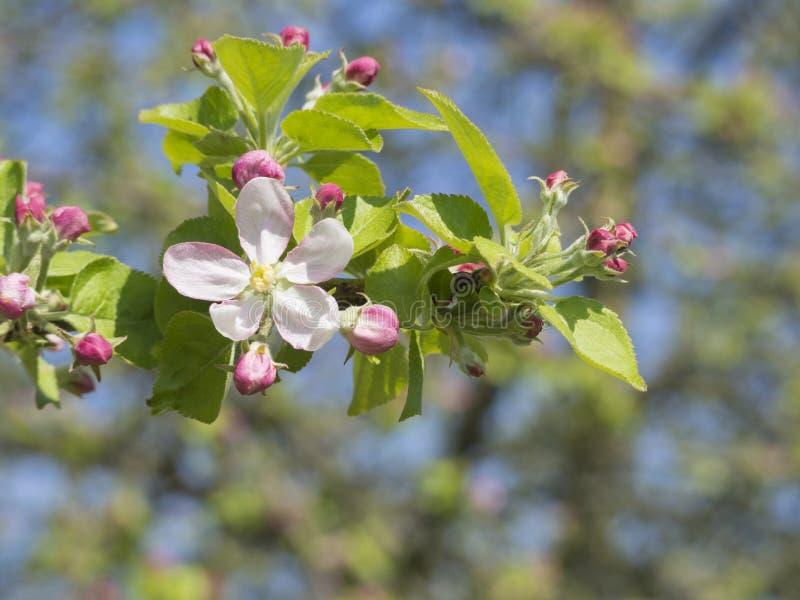 Κλείστε επάνω τον όμορφο ανθίζοντας ρόδινο κλαδίσκο λουλουδιών ανθών μήλων, sele στοκ φωτογραφίες