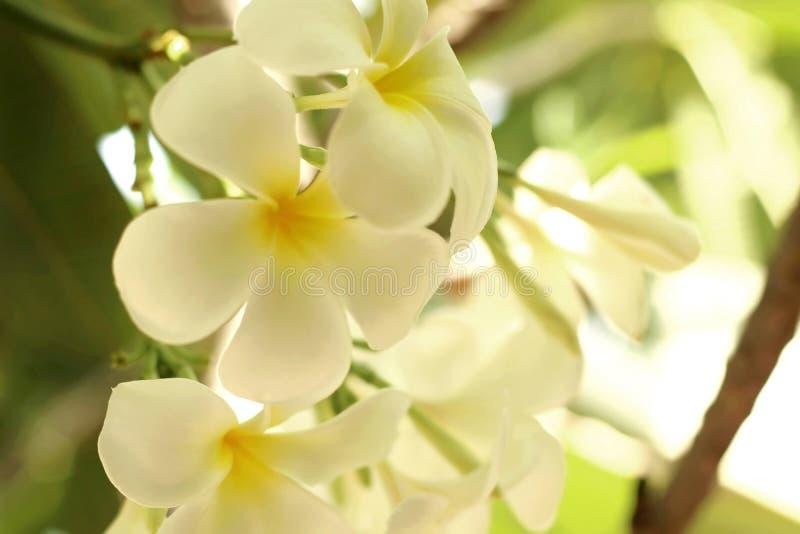 Κλείστε επάνω του άσπρου κίτρινου frangipani λουλουδιών plumeria ανθίζοντας στον κήπο στοκ εικόνες