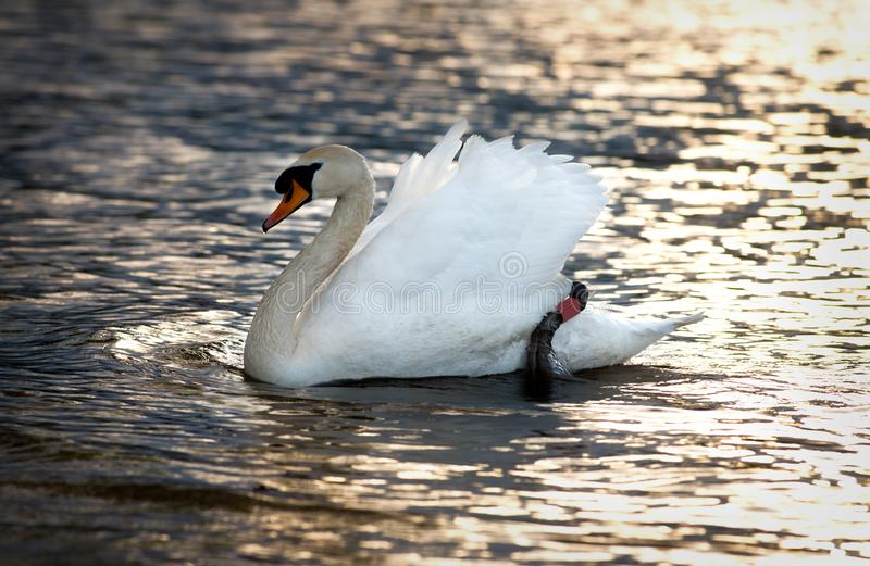 Κλείστε επάνω του άσπρου κύκνου που κολυμπά στη λίμνη στοκ εικόνες