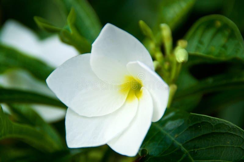 Κλείστε επάνω του άσπρου λουλουδιού frangipani με το κίτρινο κέντρο, υπαίθρια μετά από μια βροχή Επίσης γνωστός ως plumeria στοκ φωτογραφίες