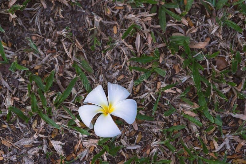 Κλείστε επάνω του άσπρου λουλουδιού plumeria στο πάτωμα στοκ φωτογραφία με δικαίωμα ελεύθερης χρήσης