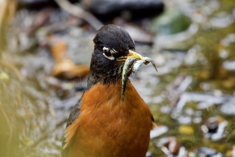 Κλείστε επάνω του αμερικανικού Robin με τα τηγανητά σολομών chum στο ράμφος του στοκ εικόνες