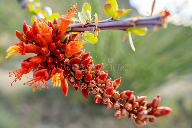 Κλείστε επάνω του ανθίζοντας φυτού κάκτων Ocotillo στην έρημο της Αριζόνα Sonoran κατά τη διάρκεια της άνοιξη στοκ εικόνες με δικαίωμα ελεύθερης χρήσης