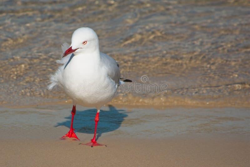 Κλείστε επάνω του αυστραλιανού ασημένιου γλάρου στην παραλία στοκ εικόνες με δικαίωμα ελεύθερης χρήσης