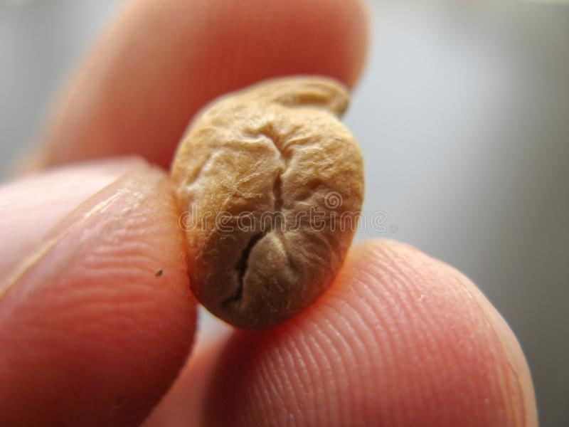 Κλείστε επάνω του ενιαίου ξηρού φασολιού cheakpea σε ένα δάχτυλο στοκ φωτογραφία με δικαίωμα ελεύθερης χρήσης