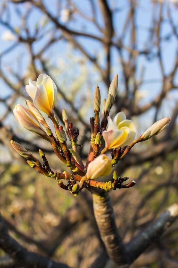Κλείστε επάνω του καθαρού άσπρου λουλουδιού plumeria στο δέντρο στοκ φωτογραφία με δικαίωμα ελεύθερης χρήσης