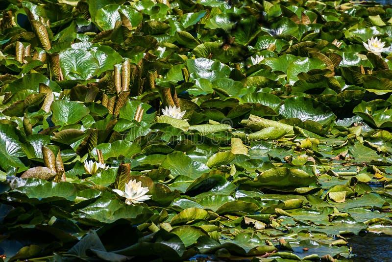 Κλείστε επάνω του καμμένος πράσινου νερού αφήνει lilly το floatin στο νερό με τις άσπρες ανθίσεις νερού lilly στοκ φωτογραφίες με δικαίωμα ελεύθερης χρήσης