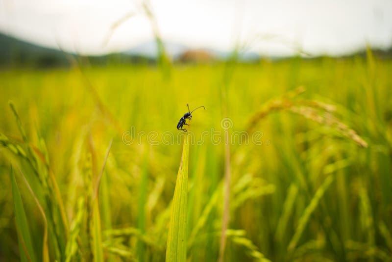 Κλείστε επάνω του κιτρινοπράσινου τομέα ρυζιού Ρύζι που αρχειοθετείται στο χρόνο ηλιοβασιλέματος Το ρύζι αρχειοθέτησε το πίσω έδα στοκ φωτογραφίες