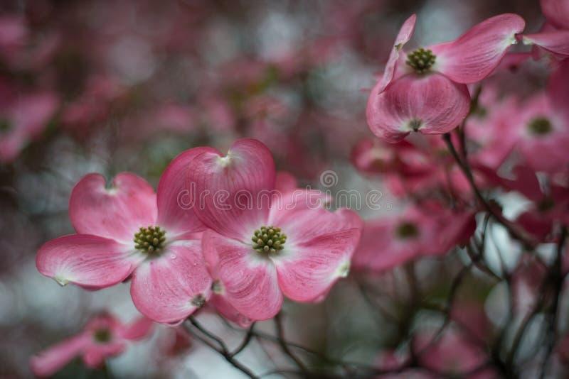 Κλείστε επάνω του κόκκινου λουλουδιού, cornus Φλώριδα, πτώσεις της βροχής στοκ εικόνα