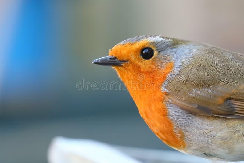 Κλείστε επάνω του κόκκινου στήθους της Robin στοκ εικόνες