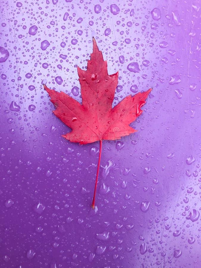 Κλείστε επάνω του κόκκινου φύλλου σφενδάμου στην πορφυρή πλαστική φωτογραφική διαφάνεια με τις σταγόνες βροχής στοκ εικόνα με δικαίωμα ελεύθερης χρήσης