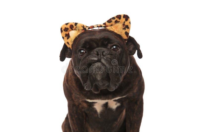 Κλείστε επάνω του λατρευτού μπόξερ με headband αυτιών λεοπαρδάλεων στοκ φωτογραφία με δικαίωμα ελεύθερης χρήσης