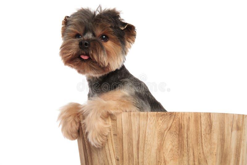 Κλείστε επάνω του λατρευτού τεριέ του Γιορκσάιρ που στηρίζεται στο ξύλινο βαρέλι στοκ εικόνα