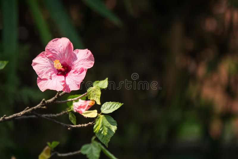 Κλείστε επάνω του μαλακού ρόδινου Hibiscus Rosa-sinensis στοκ εικόνες με δικαίωμα ελεύθερης χρήσης