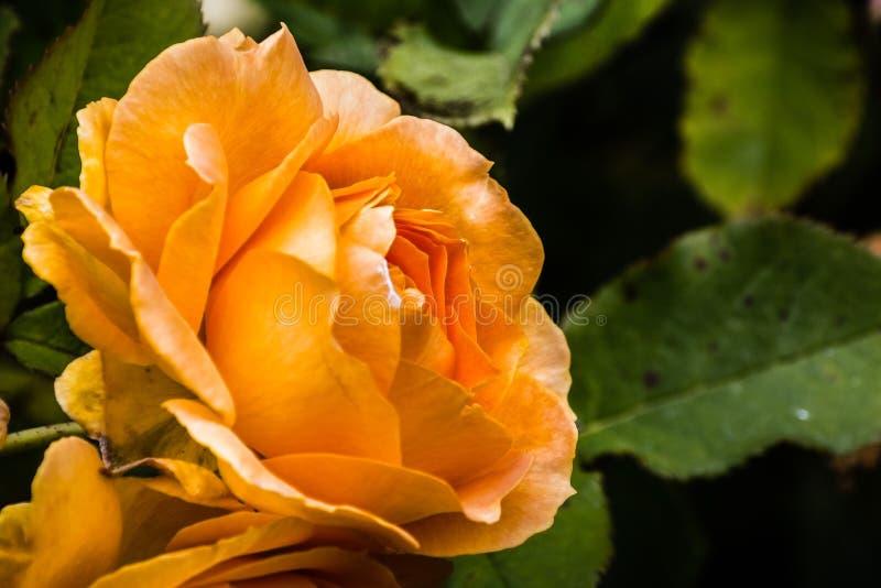 Κλείστε επάνω του πορτοκαλιού αυξήθηκε  θολωμένο υπόβαθρο στοκ φωτογραφίες