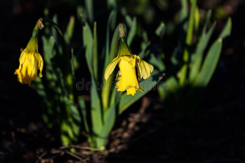 Κλείστε επάνω του φωτεινού κίτρινου daffodil που ανθίζει σε ένα ηλιόλουστο σημείο σε έναν σκιερό κήπο στοκ εικόνα