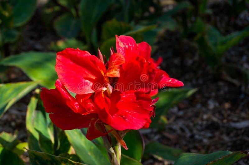 Κλείστε επάνω του φωτεινού κόκκινου λουλουδιού canna στοκ εικόνες