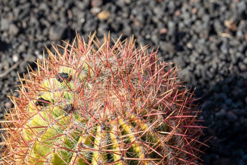 Κλείστε επάνω του χρυσού grusonii Echinocactus κάκτων βαρελιών στοκ φωτογραφίες με δικαίωμα ελεύθερης χρήσης